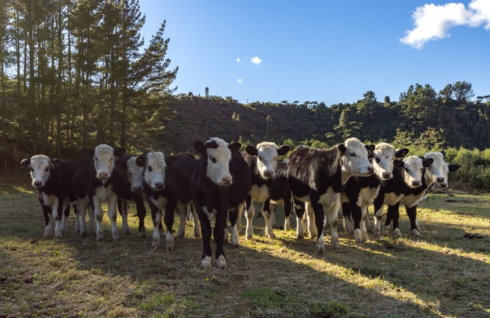 calf rearing Producing productive replacements is essential for any dairy farmer's future enterprise here are some helpful cost effective tips to help with calf rearing management.